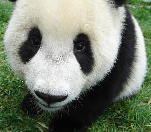 Baby Panda Bear   a photo on Flickriver 500x438