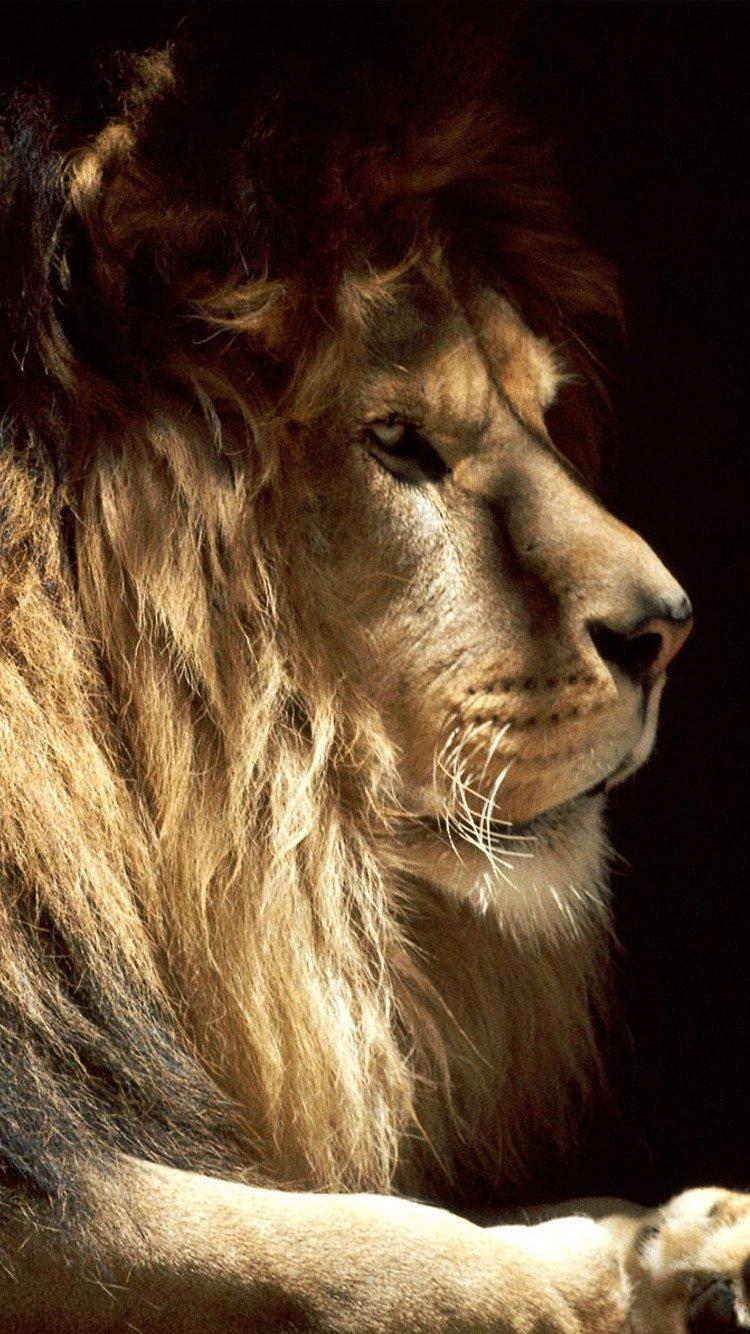 Male lion iPhone 6 Wallpaper HD iPhone 6 Wallpaper 750x1334