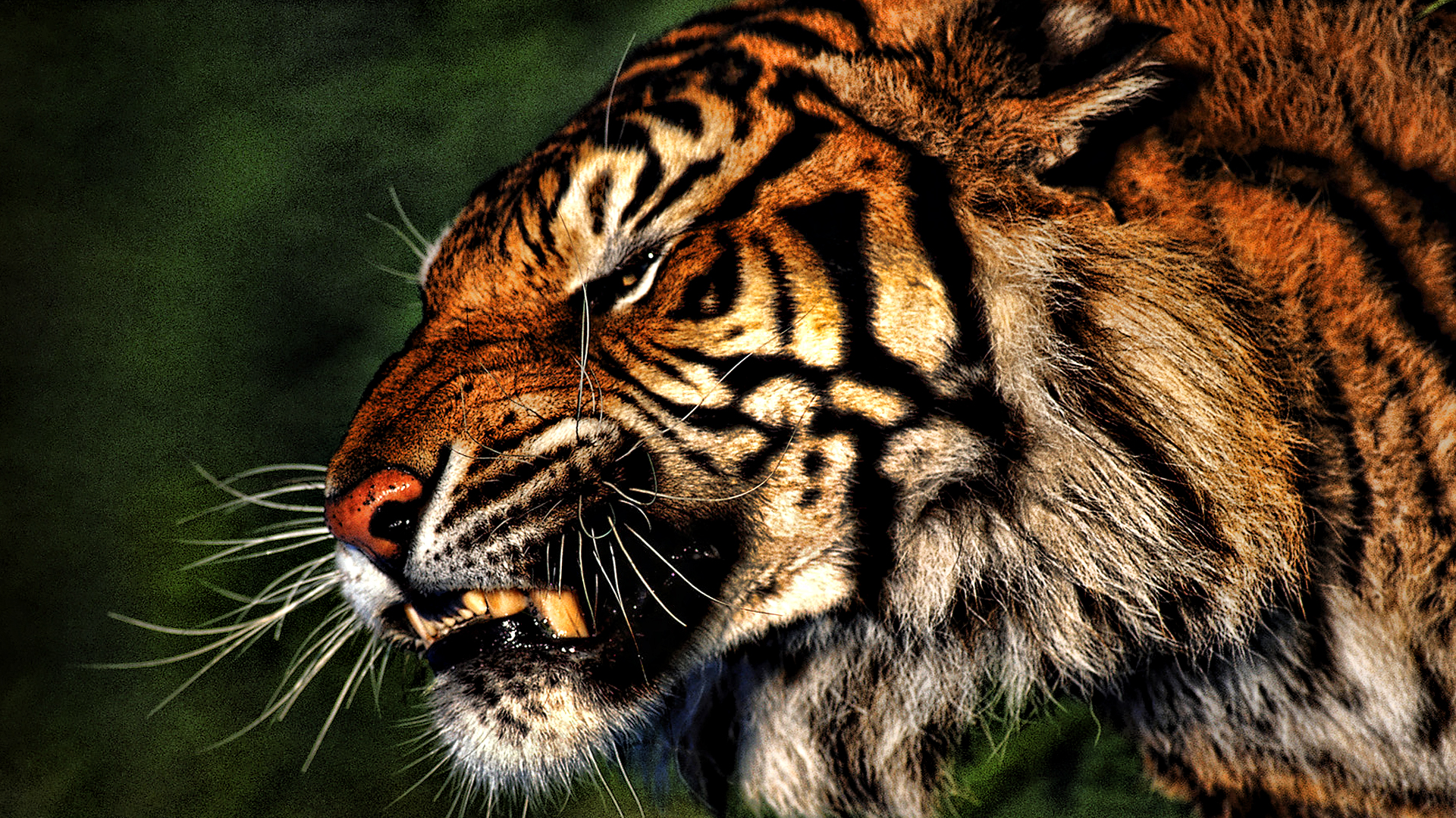 tiger wallpaper download which is under the tiger wallpapers 1920x1080