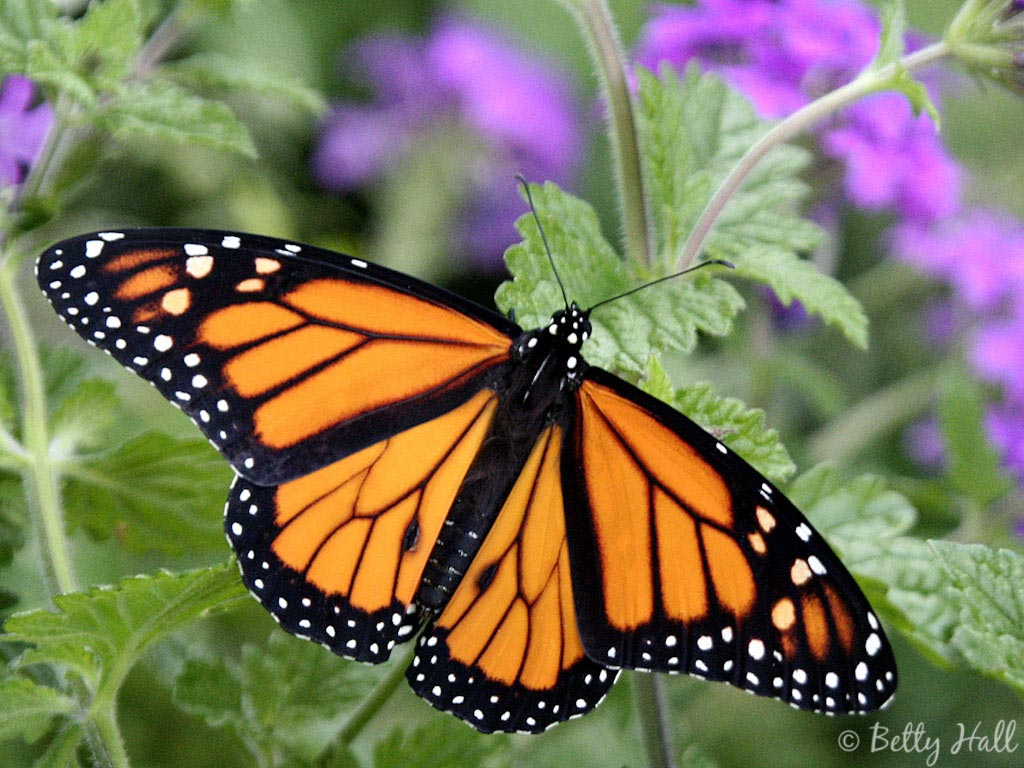 Monarch Butterfly 10 Desktop Background   Hivewallpapercom 1024x768