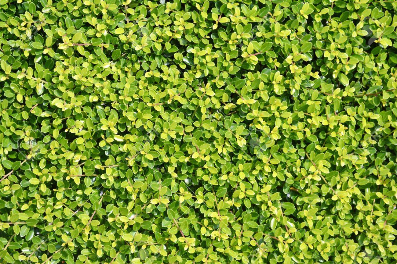 A Background Of Green Vegetation Growing On A Wall Stock Photo 1300x866