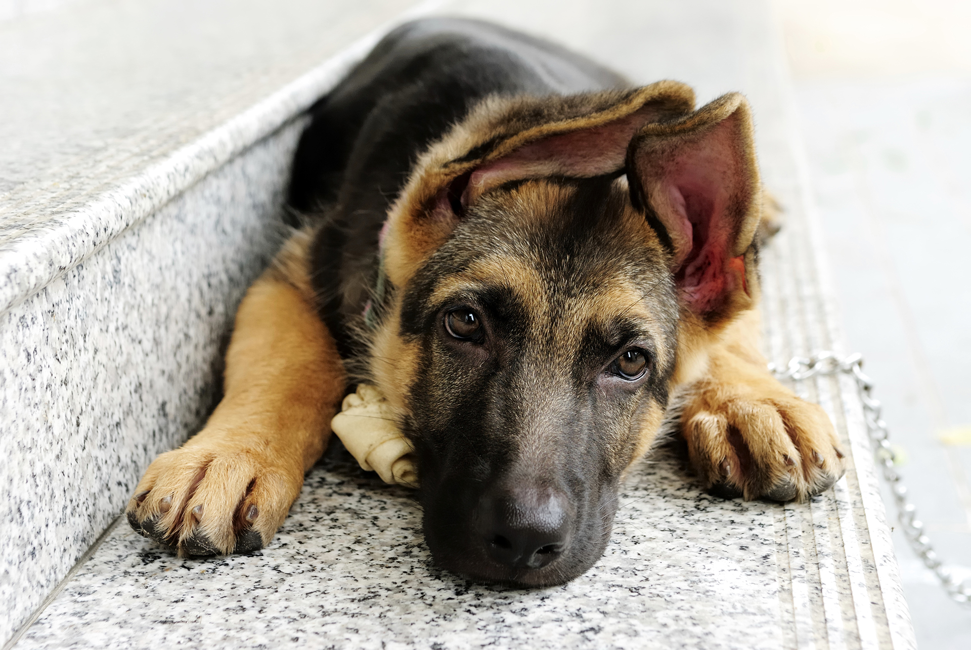 Dog German Shepherd HD Wallpapers Download 1920x1285