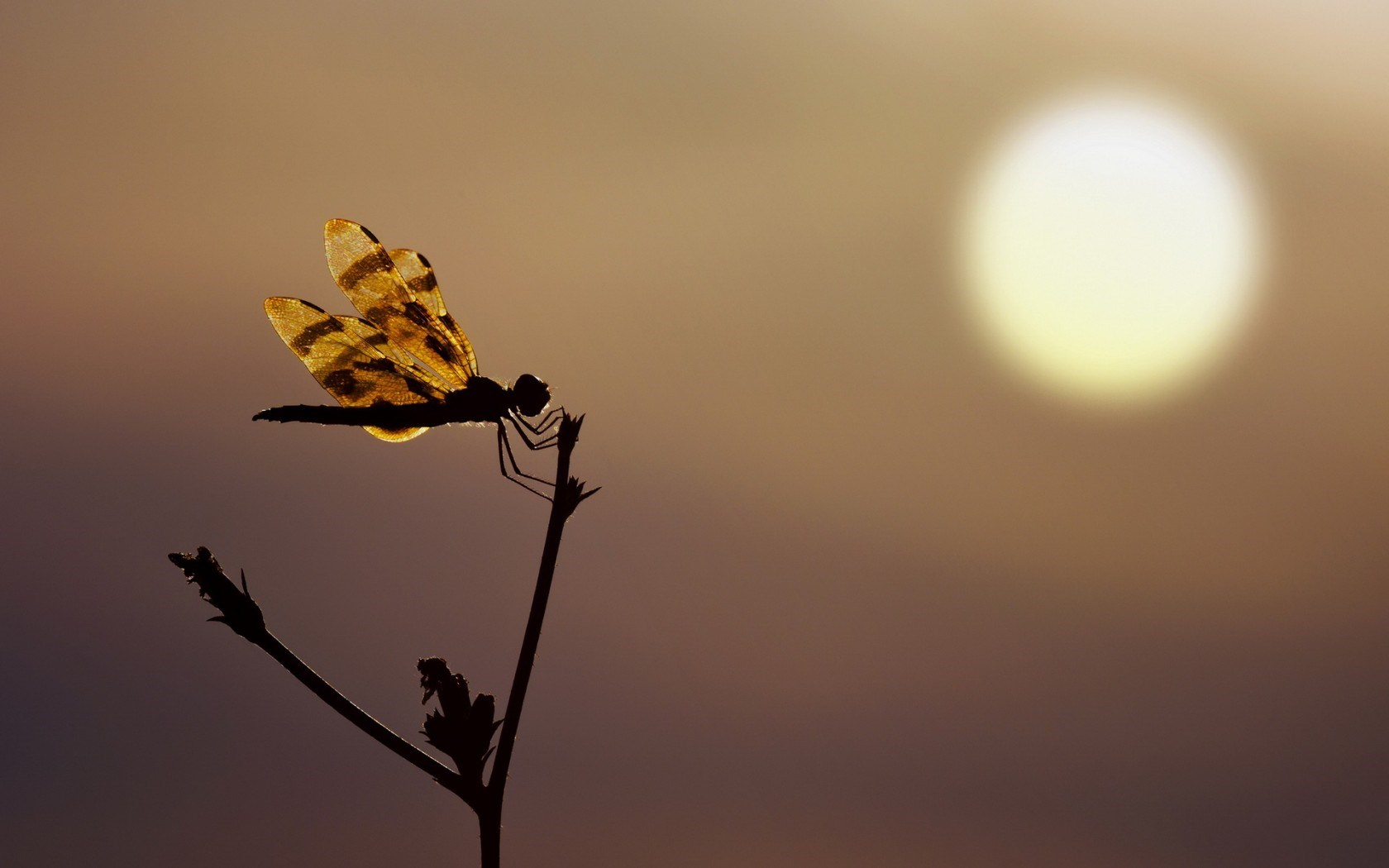 dragonfly silhouette sunset hd wallpaper   Magic4Wallscom 1680x1050