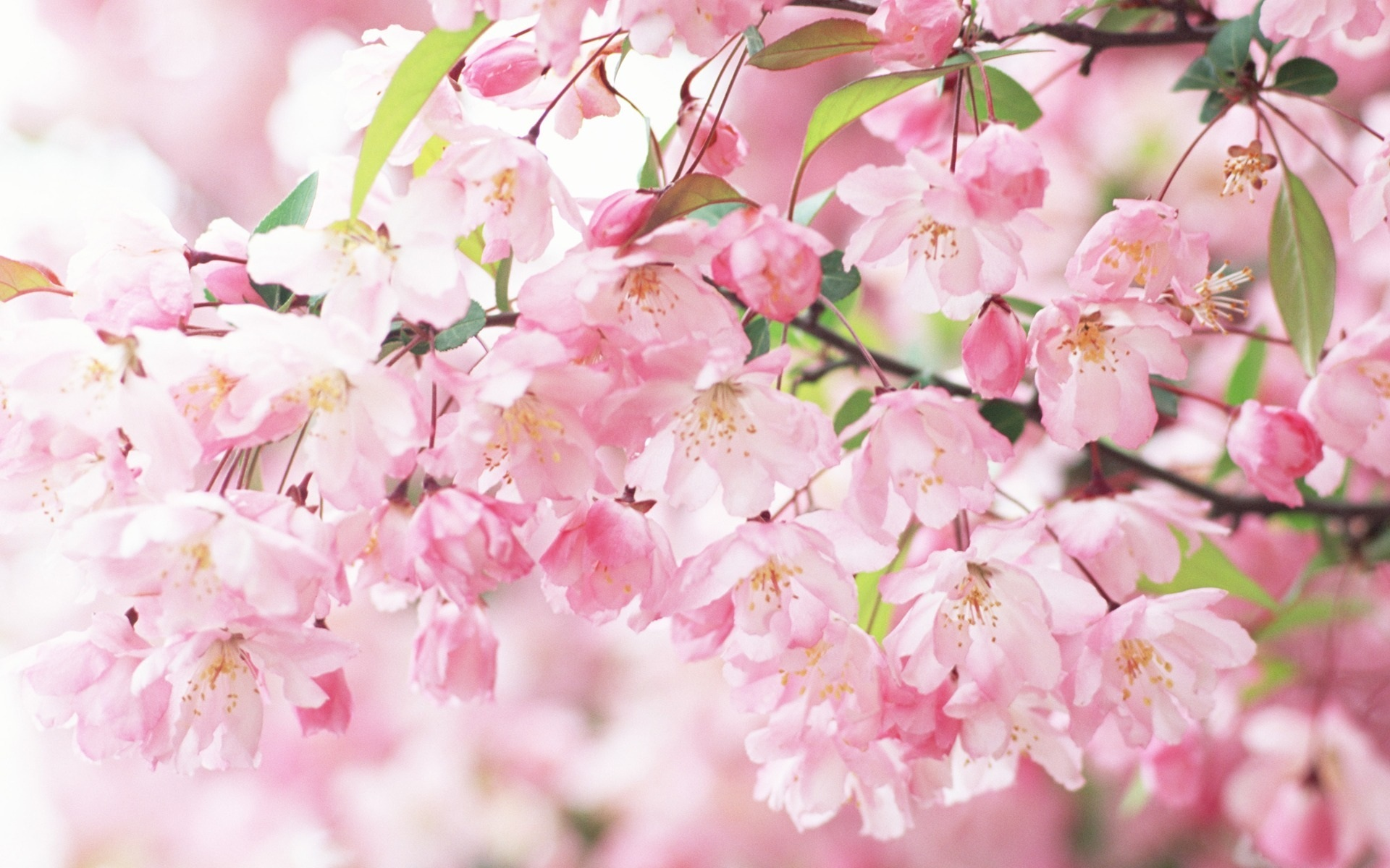 Cherry Blossom Wallpaper HD - WallpaperSafari