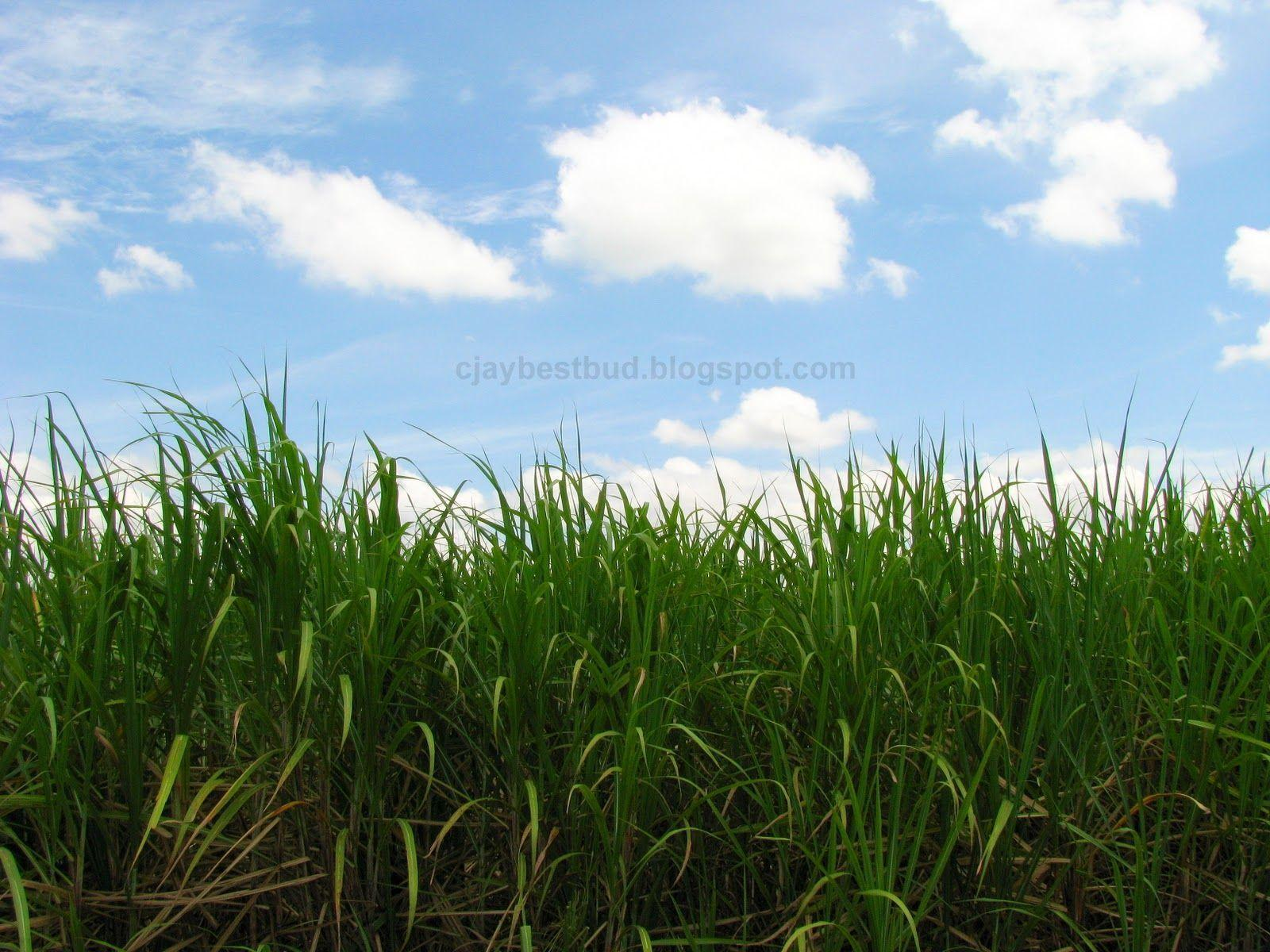 Sugarcane Wallpapers 1600x1200