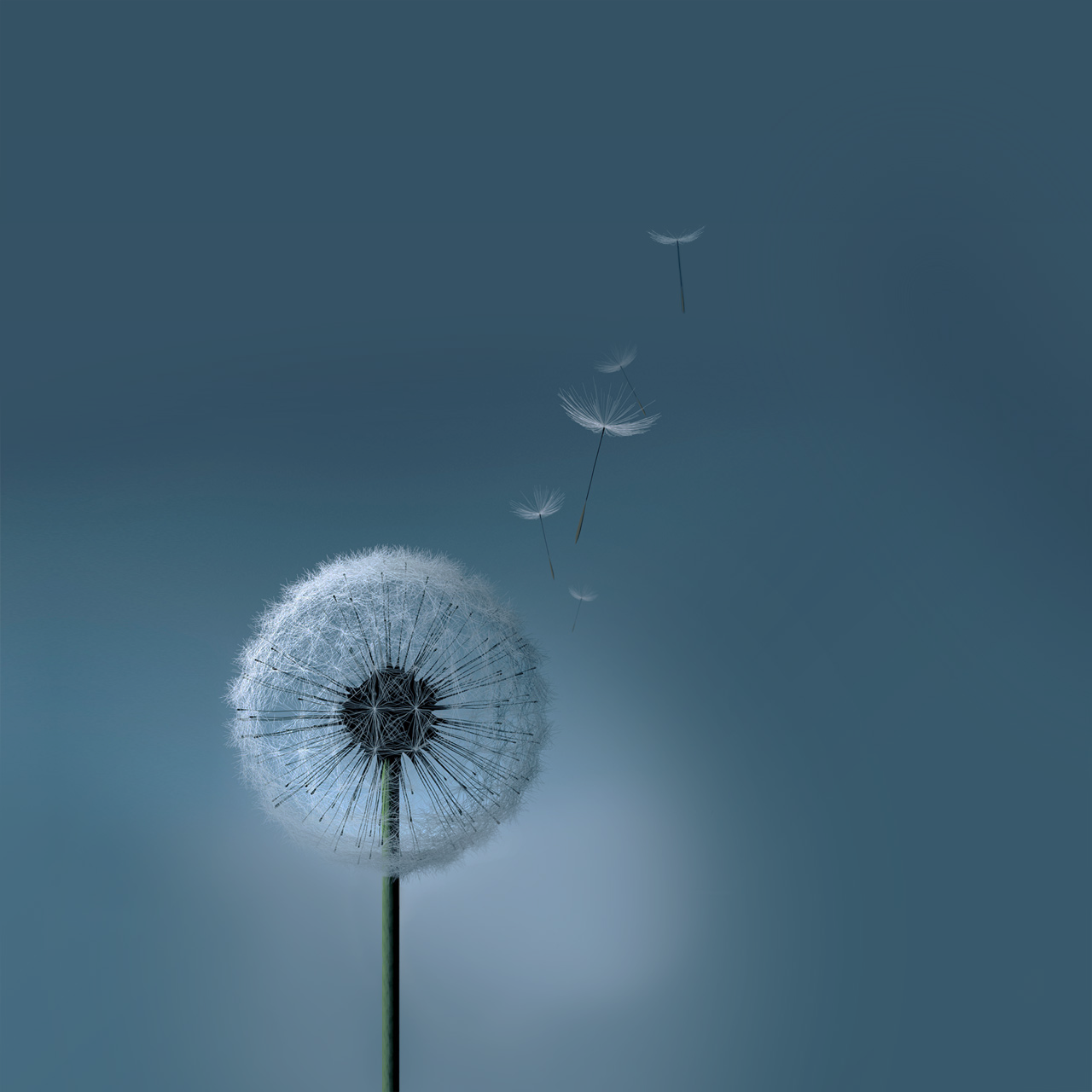 Samsung Galaxy SIII S3 Dandelion Wallpaper by kingwicked 1280x1280