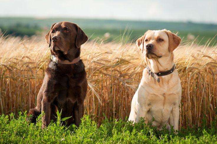 hunting Chocolate Labrador Retriever Labrador Retriever Wallpaper 736x488