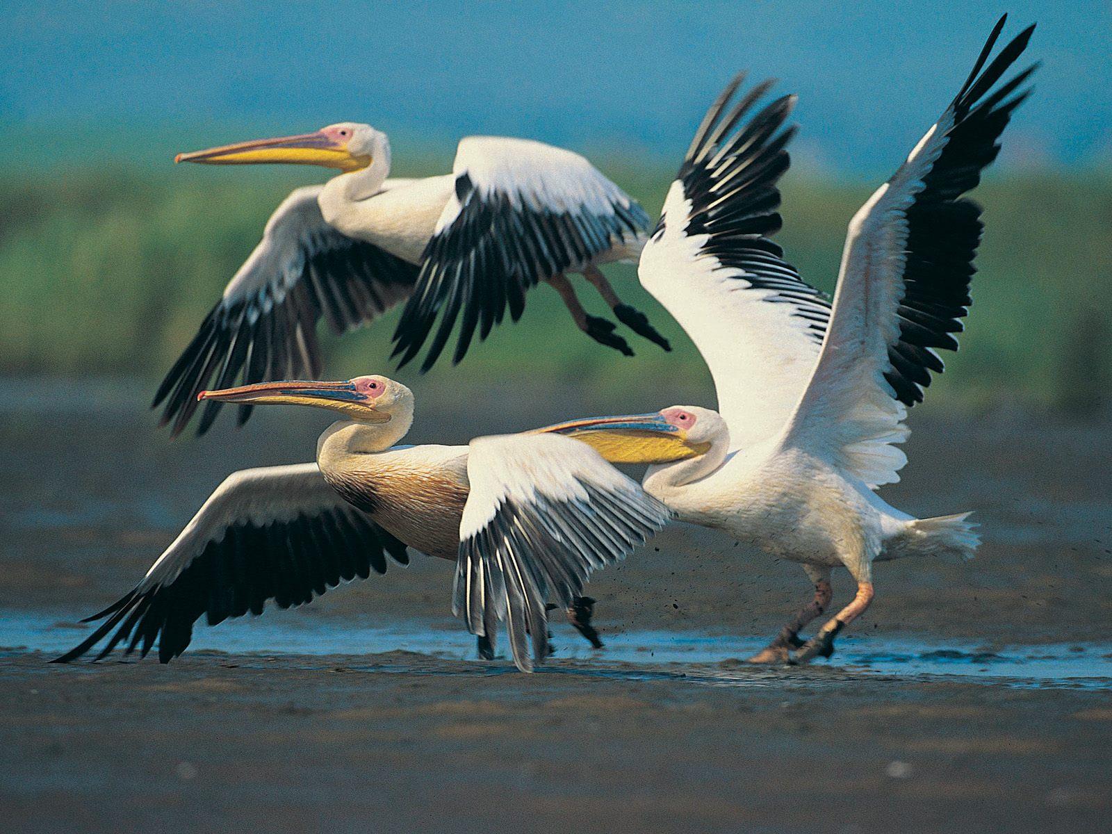 Japan Beautiful Birds Desktop Wallpapers for 1600x1200