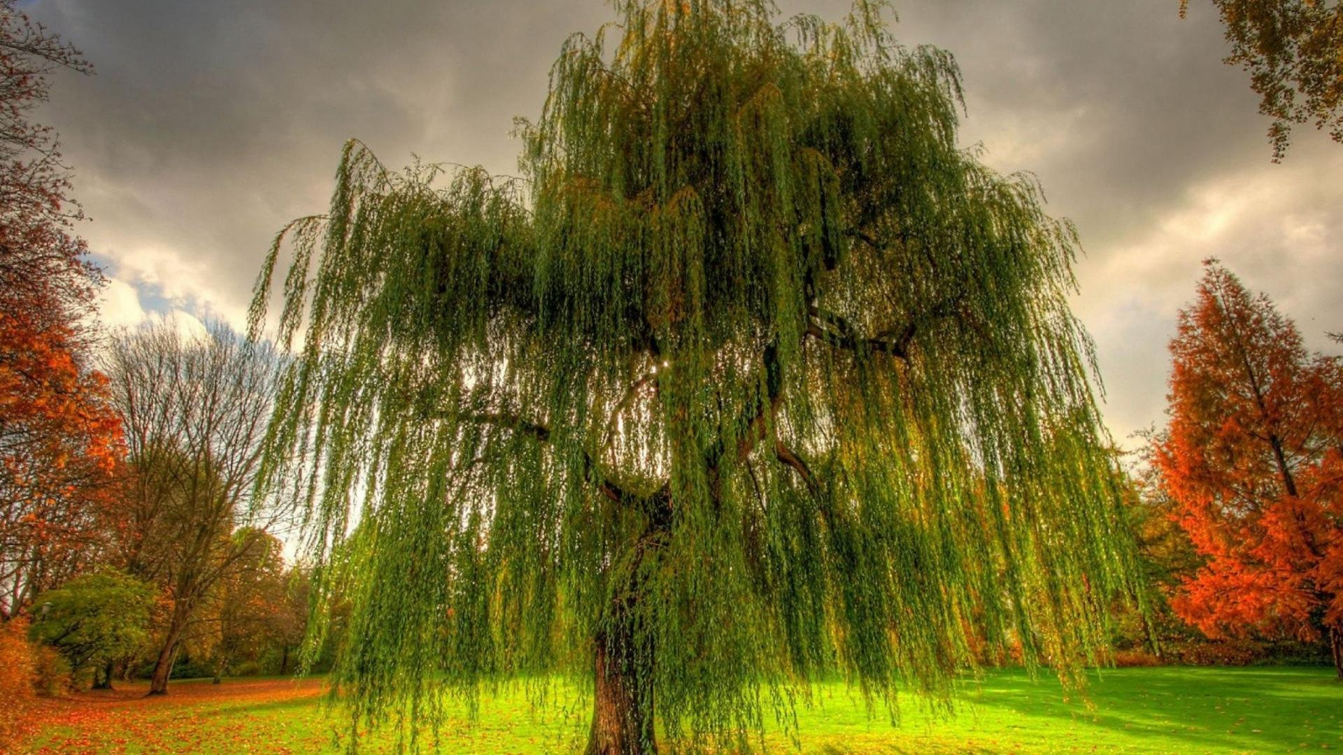 pretty tree weeping willow willow wallpaper Desktop HD Wallpaper 1920x1080