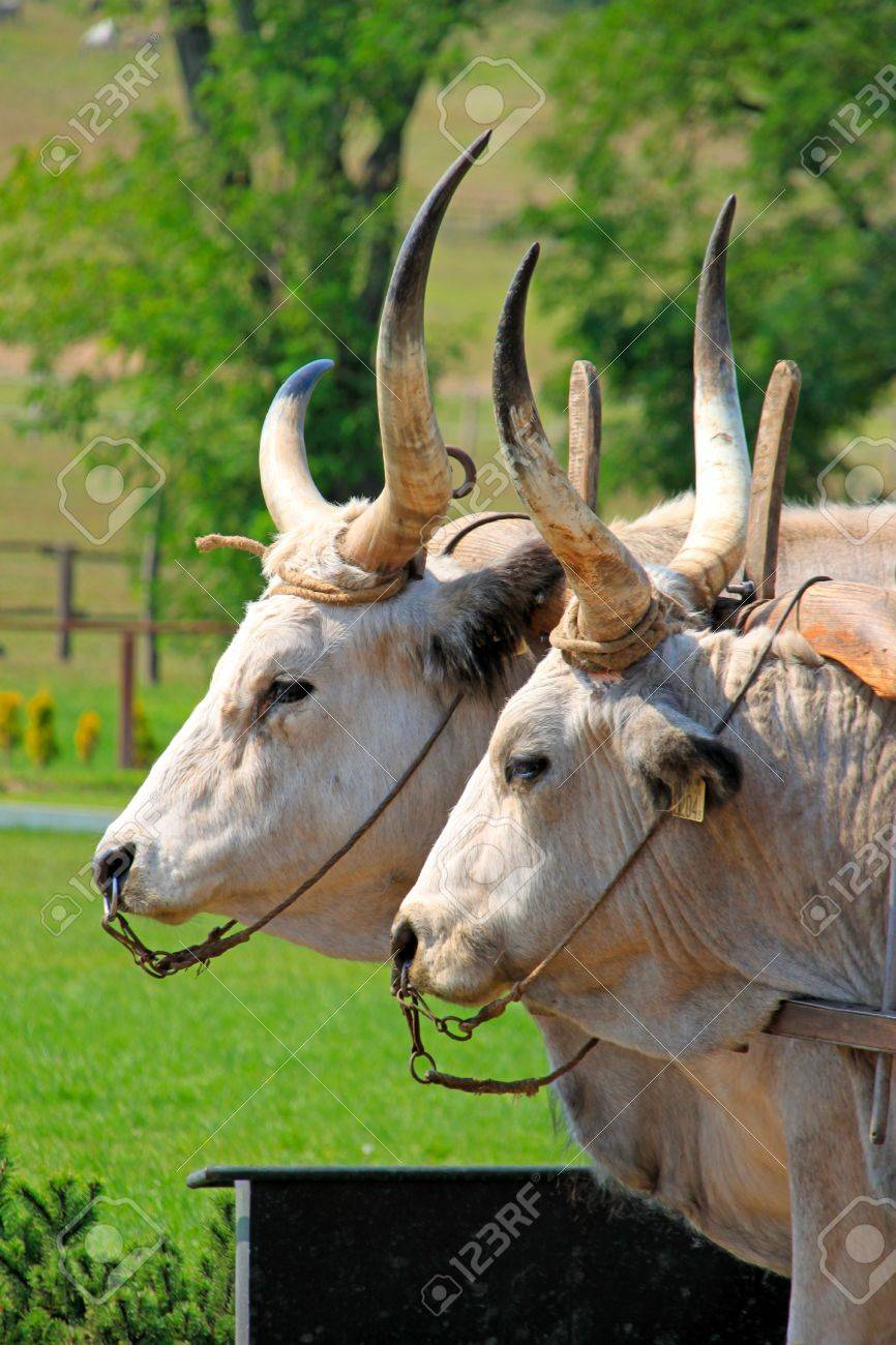 Two Bulls In Corral With Pasture As Background Stock Photo 866x1300