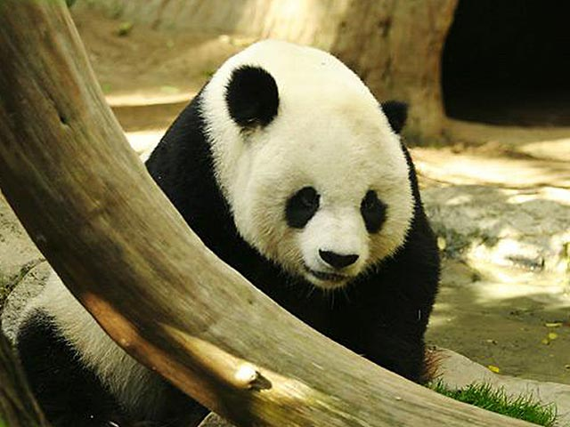 Beautiful Wallpapers panda bear wallpaper 640x480