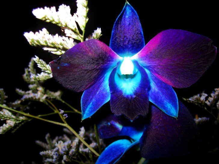 Exotic Blue Orchid Flower HD wallpapers   Exotic Blue Orchid Flower 728x546