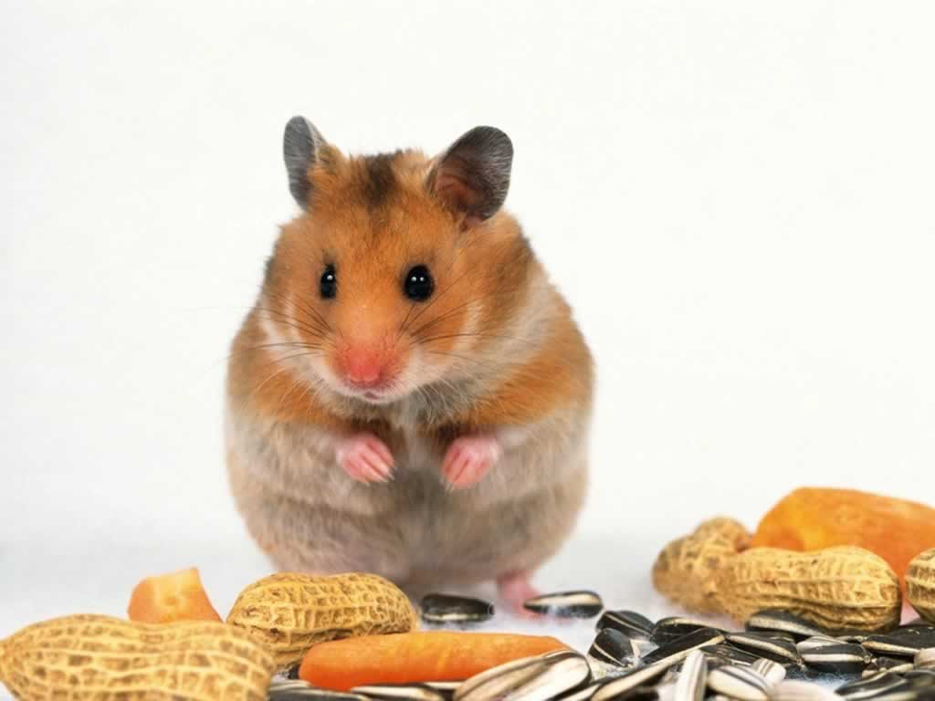 Wallpaper Archive 10 Hamster Wallpapers 1024x768