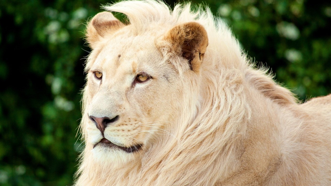 Lion HD Wallpaper 1366x768