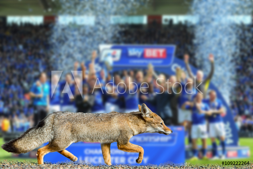 Wall Murals real fox leicester city football club wallpaper 1000x667