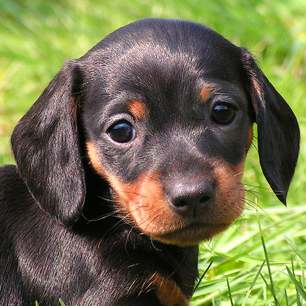 Little Dachshund Dogs Slideshow Wallpapers HD on the App Store