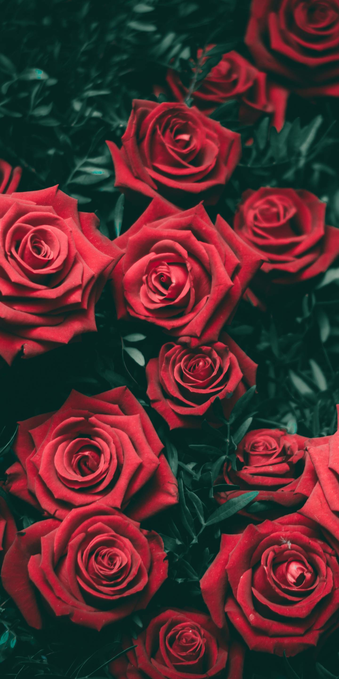 Red Rose Aesthetic Wallpapers   Top Red Rose Aesthetic 1440x2880
