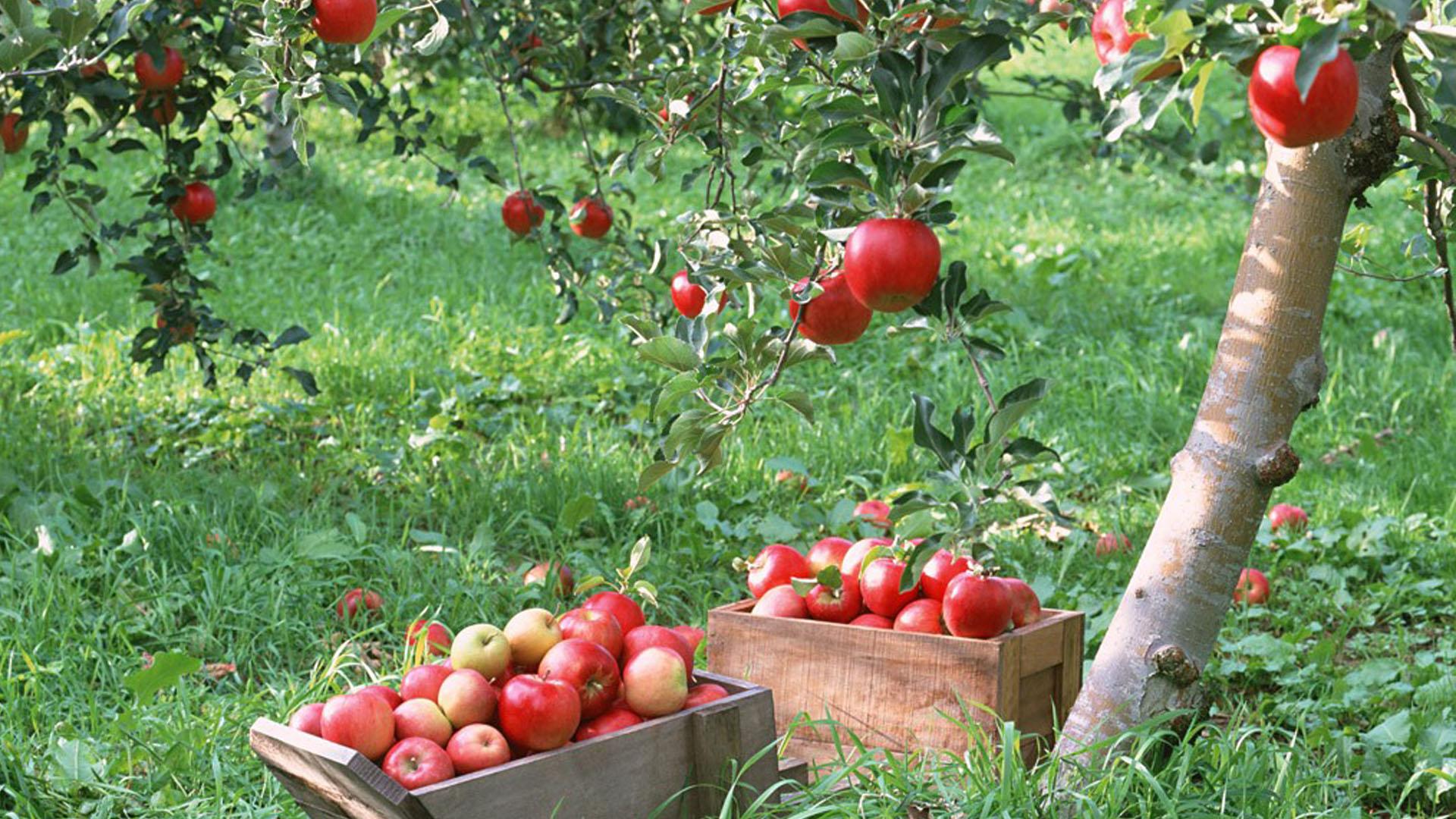 Free Download Apple Tree Wallpaper 842435 1920x1080 For Your Desktop Mobile Tablet Explore 72 Apple Tree Wallpaper Apples Wallpaper Apple Bloom Wallpaper Apple Fruit Wallpaper