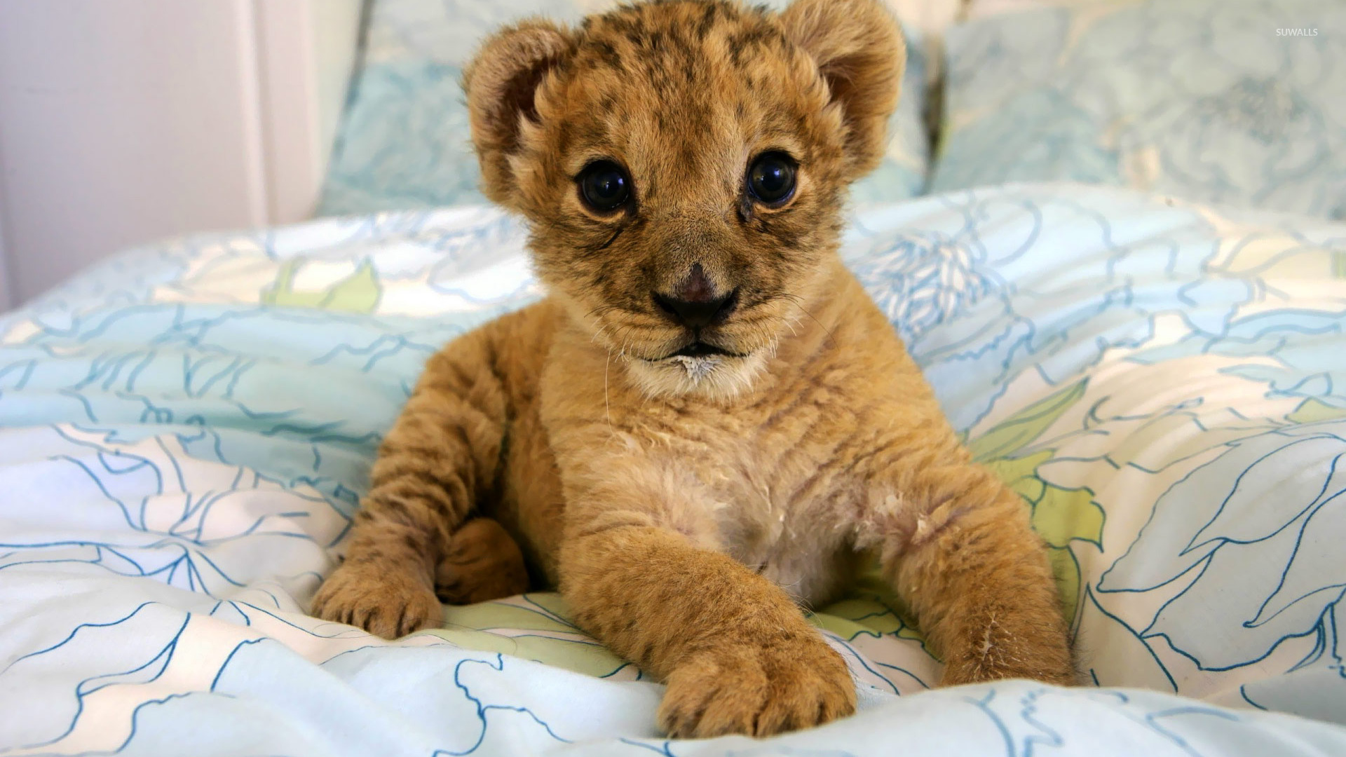 Lion cub wallpaper   Animal wallpapers   19836 1920x1080