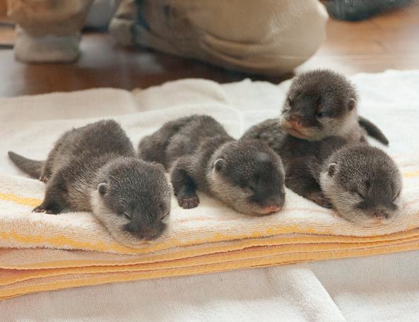 More Baby Otters Baby Animal Zoo 593x455