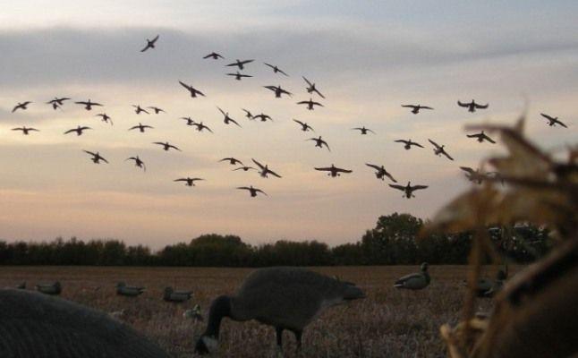 Goose Hunting Wallpaper Canada goose hunting in 646x400