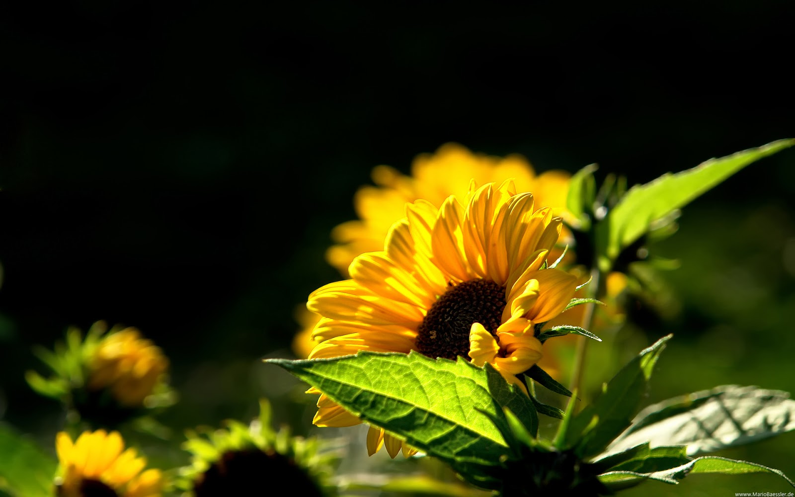 Sunflower Wallpaper Desktop Mobile wallpapers 1600x1000