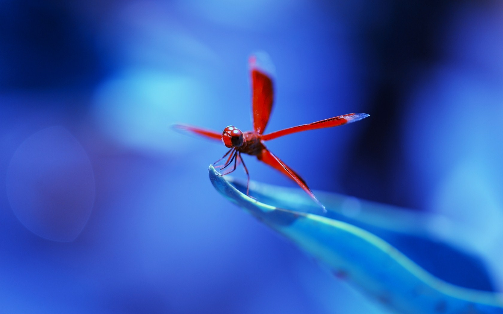 Animal   Dragonfly Wallpaper 1680x1050