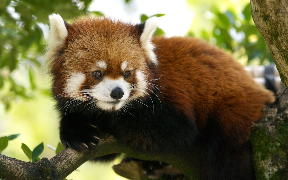 rosso cute red panda pictures panda wallpaper for bedrooms red panda 1000x625