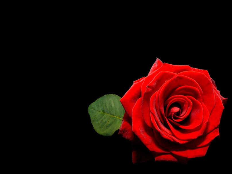 Background Red And Black Red Rose on Black Wallpaper 808x606