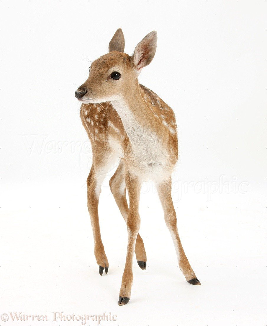 Fallow Deer fawn photo WP29429 905x1104