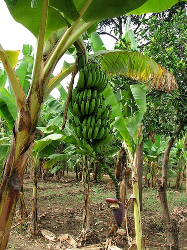 banana tree hd wallpapers banana tree images trees images 375x500