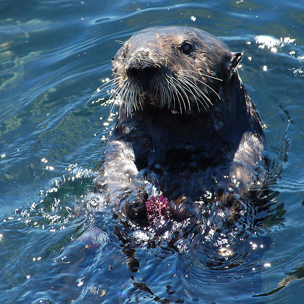 Sea Otter Pictures Wallpapers   Wallpaper 6 of 8 600x600