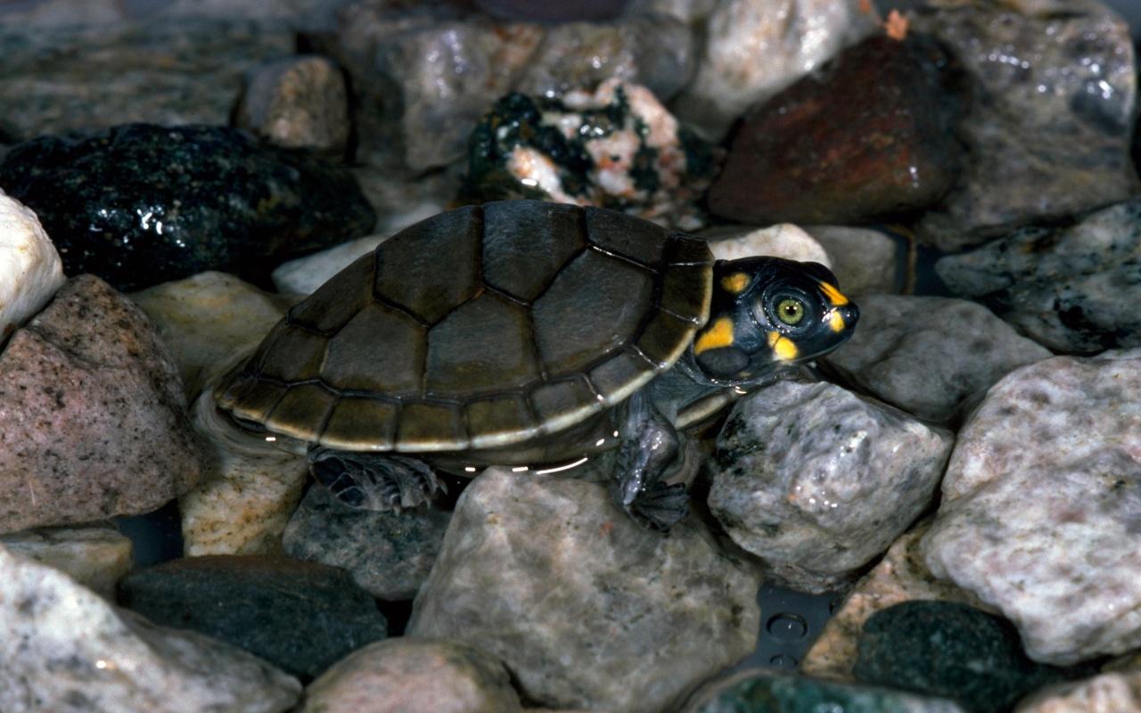 Description download Baby turtles animal wallpaper in 1280x800 1280x800