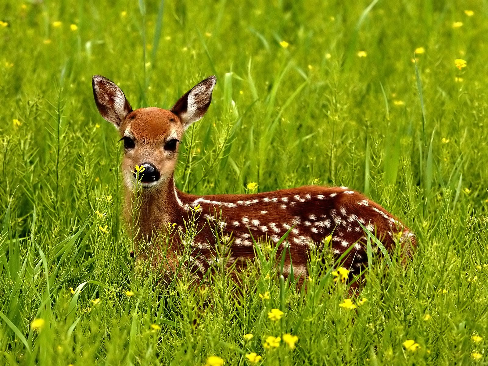 Best And Cute Deer Pictures 25dip 1600x1200