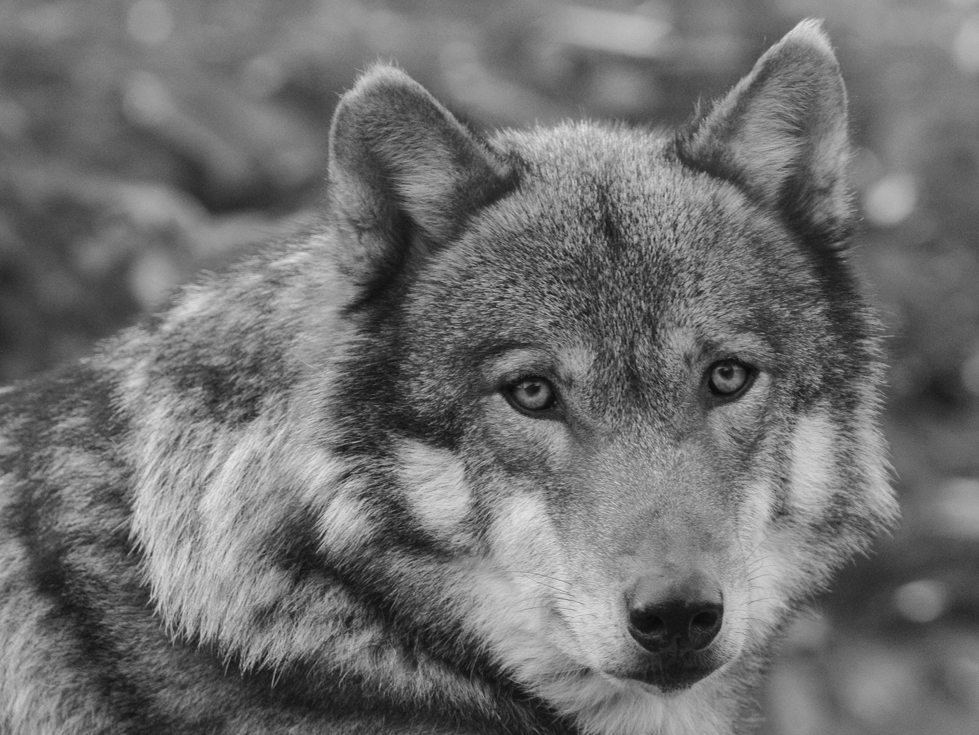 Black and white wolf 30 desktop background wallpaper 2000x1502