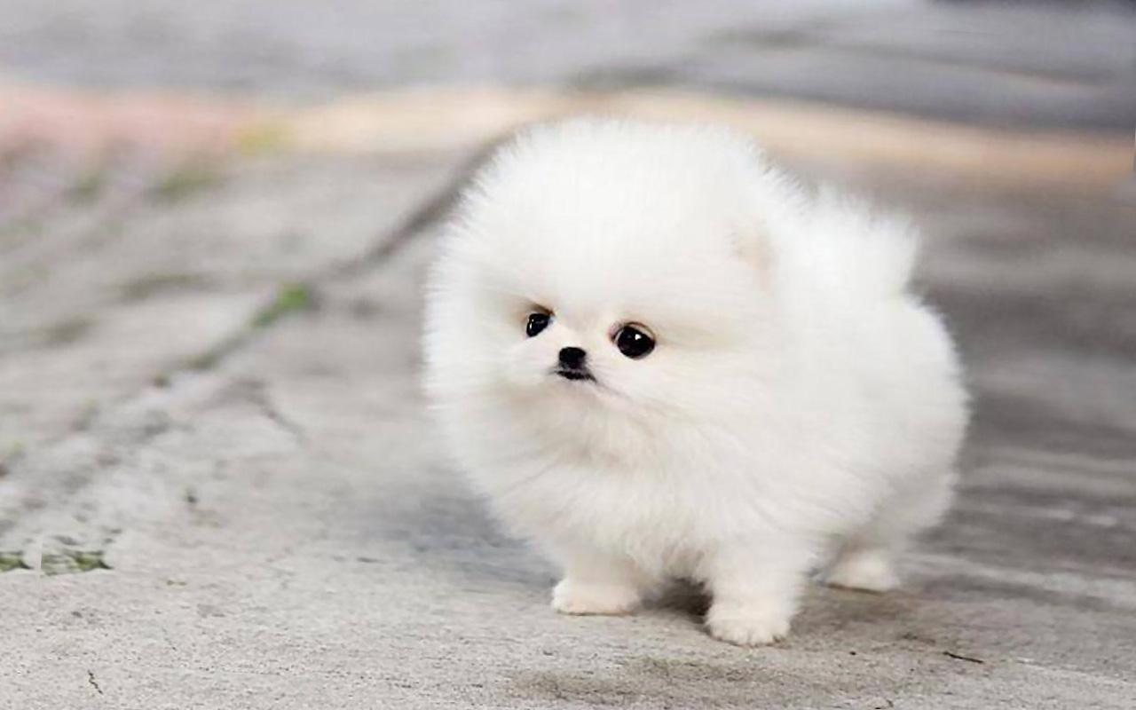 Cute Pomeranian Wallpaper Wallpapersafari