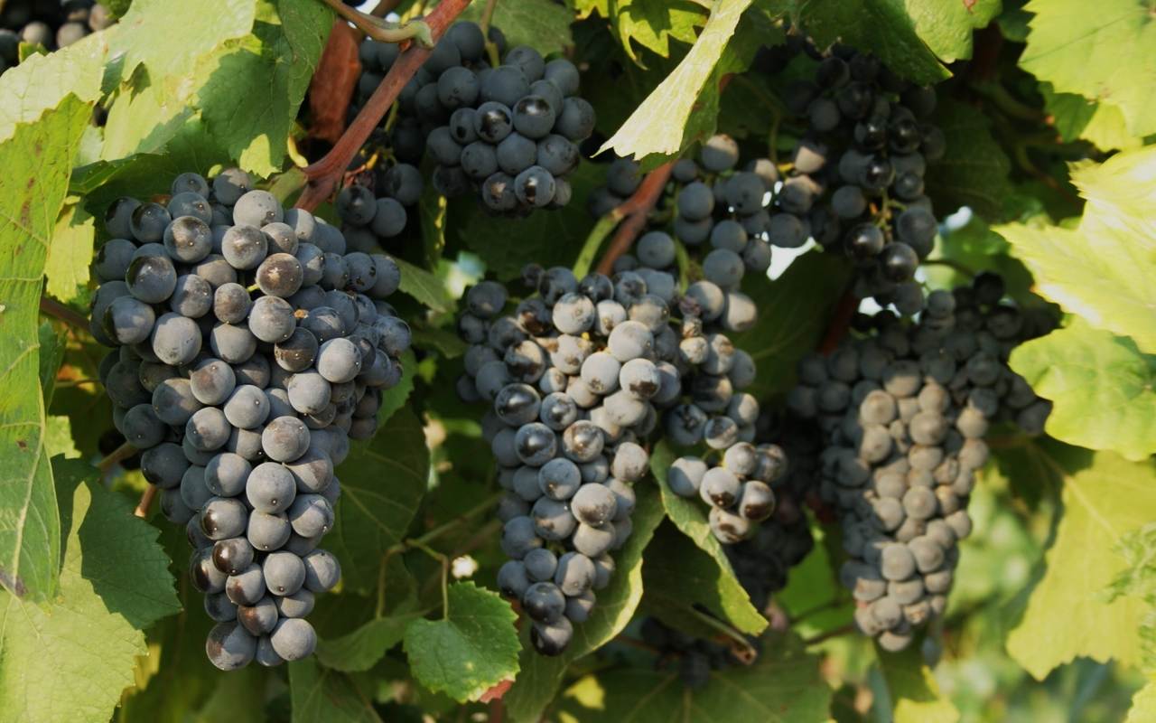 Grapes wallpaper 20941 1280x800