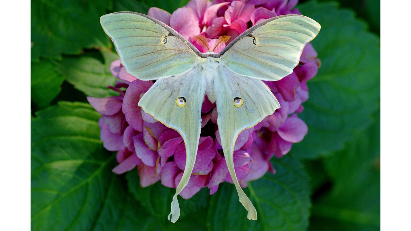 Luna Moth 1600x900