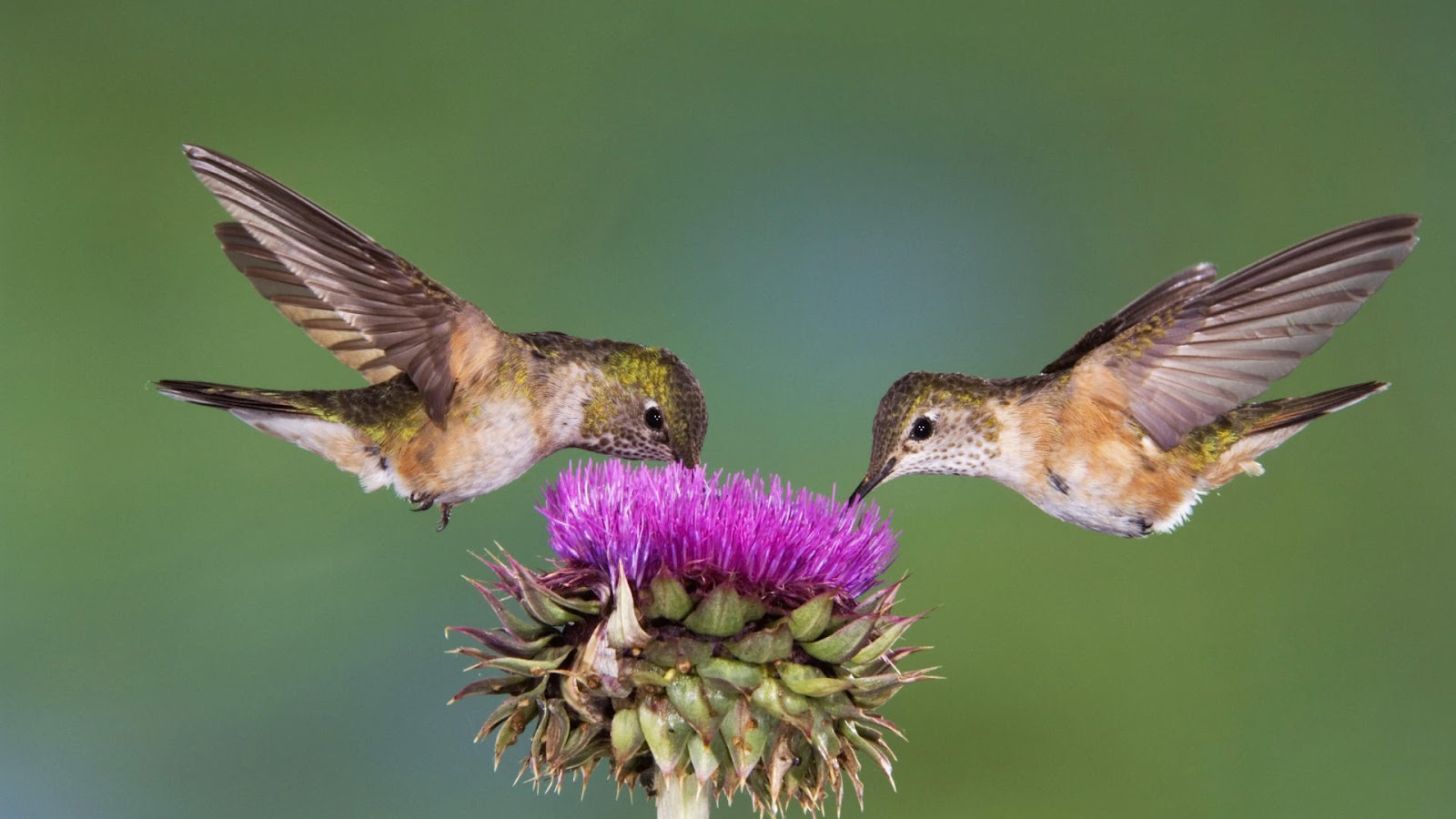two bird eating from a flower flying HD birds wallpapers backgrounds 1600x900