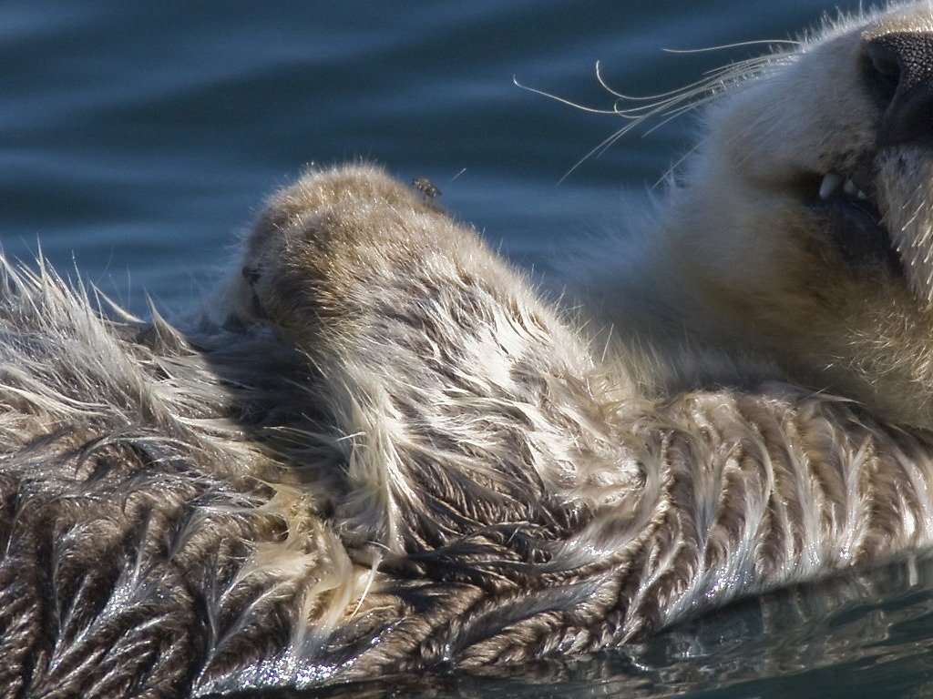 hd wallpapers otter hd wallpapers otter hd wallpapers otter pictures 1024x768