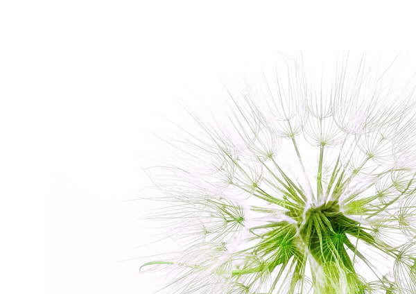 Dandelion Wallpaper Minimalist Dandelion Desktop Background 600x424