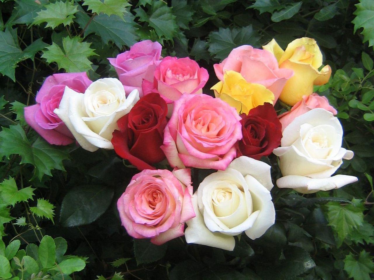 Beautiful Color   Roses Wallpaper 18577527 1280x960