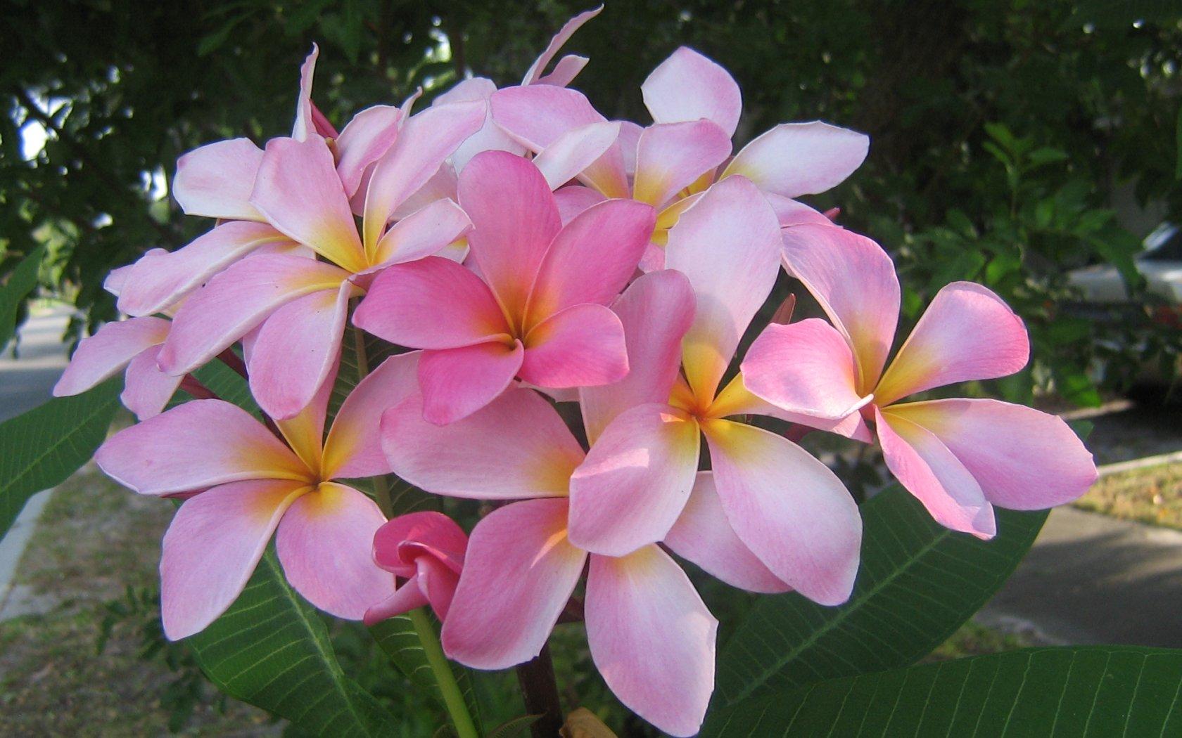 Exotic Flowers 1680x1050