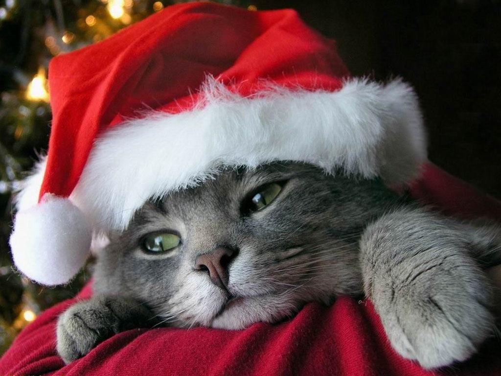 christmas kitten wallpaper cats animals (46 wallpapers) – hd