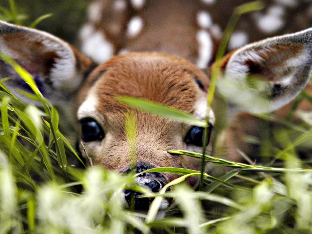 deer wallpaper 1024x768