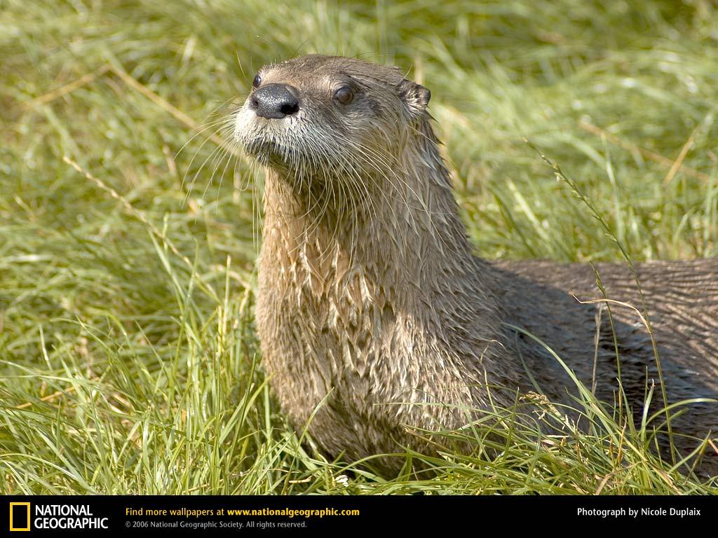 American River Otter Picture American River Otter Desktop Wallpaper 1024x768