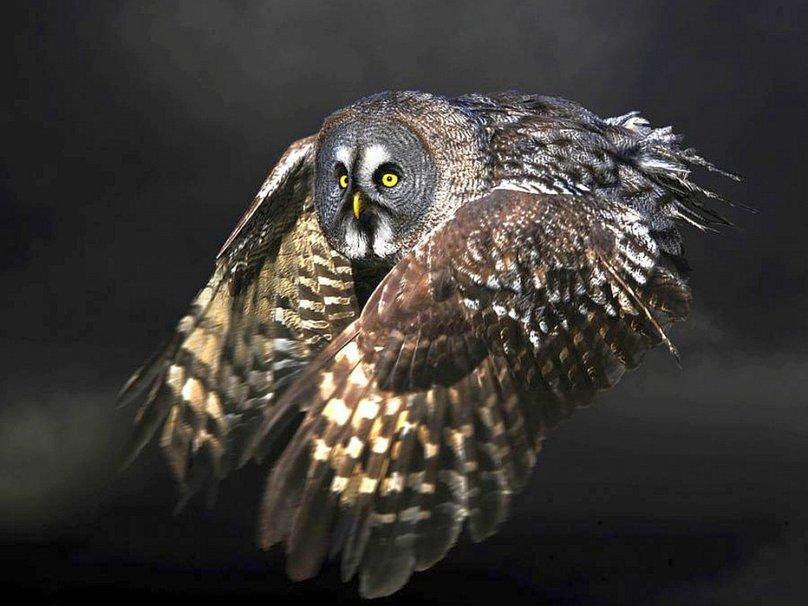 Flying Owl wallpaper   ForWallpapercom 808x606