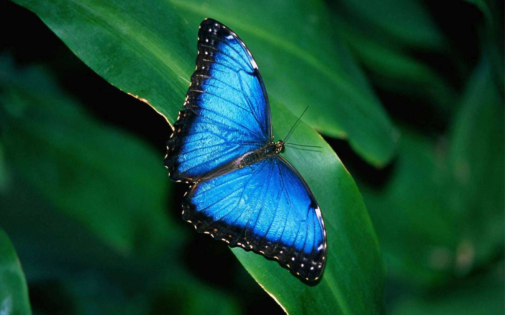 Blue Butterfly HD Wallpaper