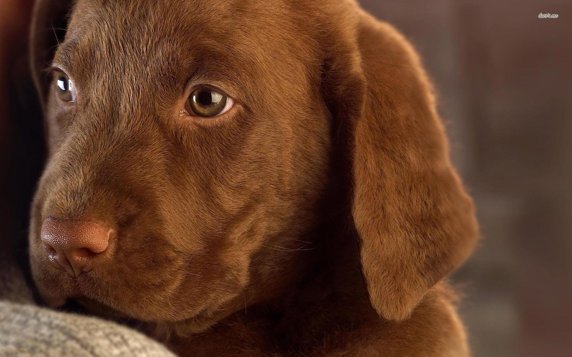 Pics Photos   Cute Chocolate Lab Puppies Wallpaper High 1920x1200