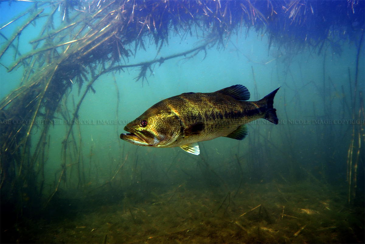 Largemouth Bass Largemouth bass framed by 1200x803
